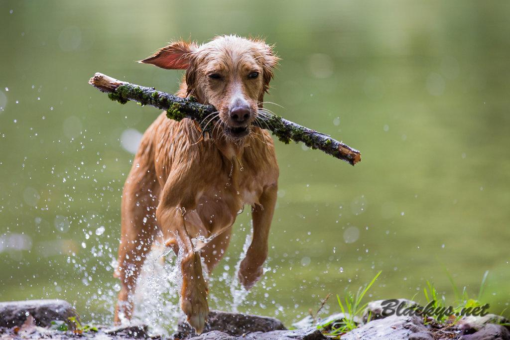 nasser Hund